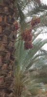 dates supplier, dates wholesale, iran date, dried mango, organic dates, dried prunes, medjool dates wholesale, medjool dates uk, bulk dates, dried figs, dried dates, medjool dates, dried pears, ajwa dates, organic dates bulk, wholesale dates suppliers, fresh dates, date paste suppliers, chopped dates, where to buy dates, fsma compliance, medjool dates for sale, buy dates online, medjool dates bulk, california dates